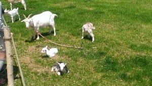 トンデンファームの山羊さん